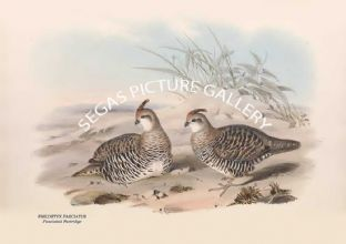 PHILORTYX FASCIATUS - Fasciated Partridge